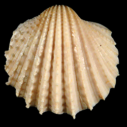 Acanthocardia propeciliare
