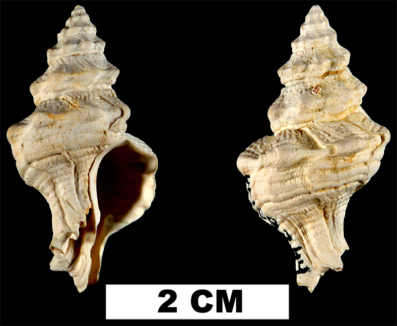 <i>Calotrophon sarasotaensis</i> from the Late Pliocene Tamiami Fm. (Pinecrest Beds) of Sarasota County, Florida (UF 139344).
