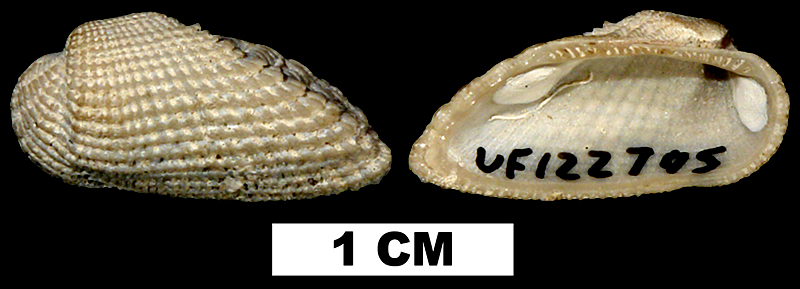 <i>Acar domingensis</i> from the Middle Pleistocene Bermont Fm. of Palm Beach County, Florida (UF122795).