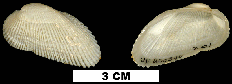 <i>Acar domingensis</i> from the Middle Pleistocene Bermont Fm. of Palm Beach County, Florida (UF 200540).