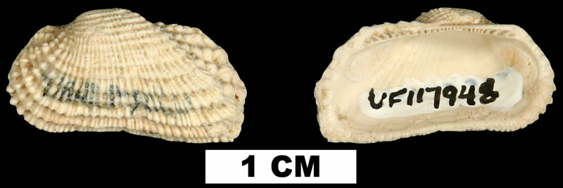 <i>Acar reticulata</i> from the Early Miocene Chipola Fm. of Calhoun County, Florida (UF 117948).