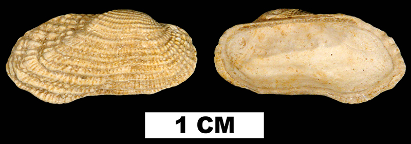 <i>Acar reticulata</i> from the Early Miocene Chipola Fm. of Calhoun County, Florida.  (UF76312)