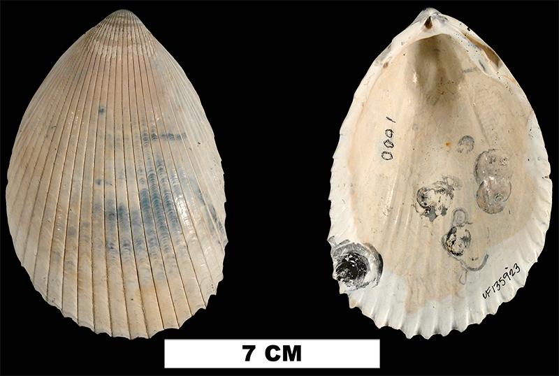 <i>Acrosterigma dalli</i> from the Late Pliocene Tamiami Fm. (Pinecrest Beds) of Sarasota County, Florida (UF 135923).