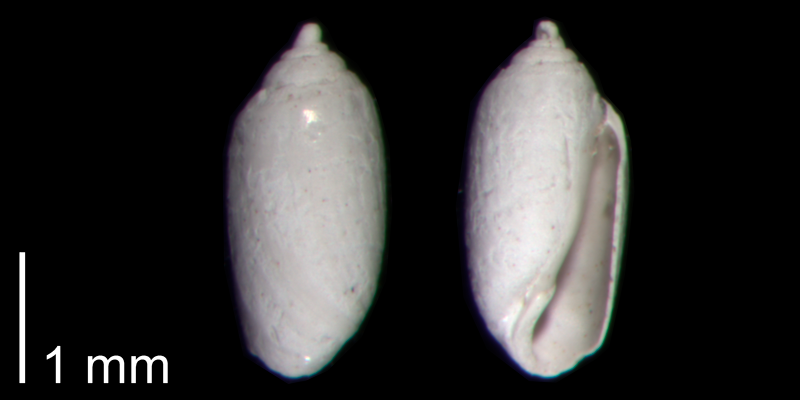 <i>Acteocina candei</i> from the Early Pleistocene James City Fm. of Beaufort County, North Carolina (PRI 70494).
