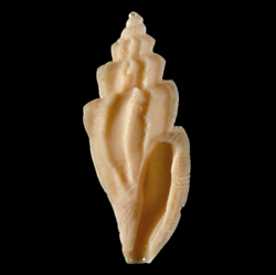 Agathotoma