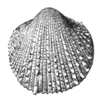 Specimen of <i>Agnocardia acrocome</i> figured by Dall (1900, pl. 48, fig. 2); 8.0 mm in length.