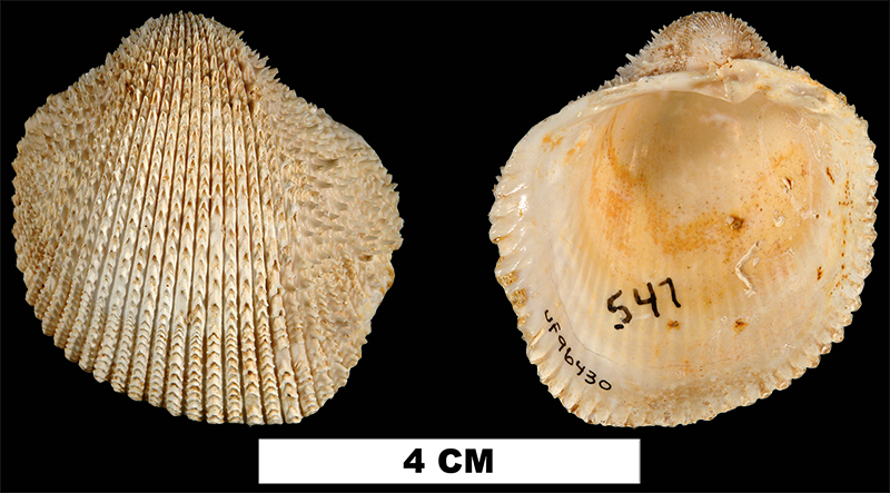 <i>Agnocardia acrocome</i> from the Early Miocene Chipola Formation of Calhoun County, Florida (UF 96430).