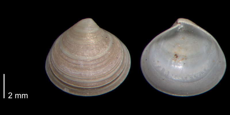 <i>Aligena striata</i> from the Early Pleistocene James City Fm. of Beaufort County, North Carolina (PRI 70482).