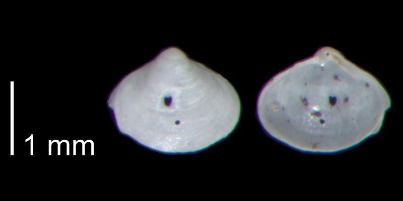 <i>Aligena striata</i> from the Early Pleistocene James City Fm. of Beaufort County, North Carolina (PRI 70485).