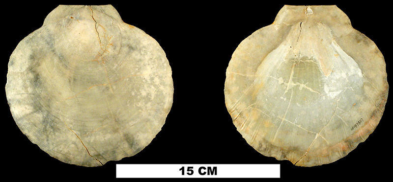 <i>Amusium mortoni</i> from the Late Pliocene Tamiami Fm. (Pinecrest Beds) of Sarasota County, Florida (UF 137307).