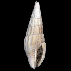 Anachis clavatula