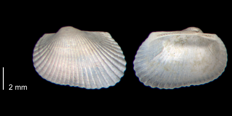 <i>Anadara aequicostata</i> from the Early Pleistocene James City Fm. of Beaufort County, North Carolina (PRI 70475).