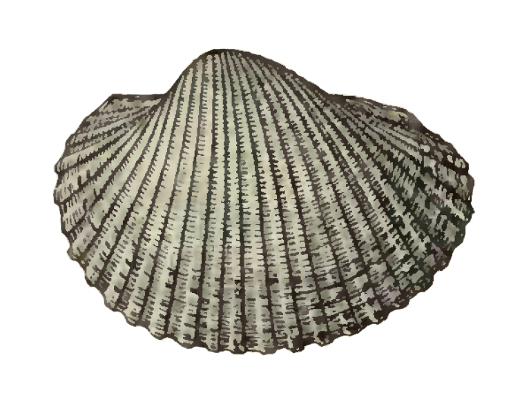 Specimen of <i>Anadara aresta</i> figured by Dall (1898, pl. 33, fig. 2); 41 mm in length.