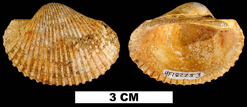 <i>Anadara aresta</i> from the Late Pliocene Jackson Bluff Fm. of Leon County, Florida (UF 182253).