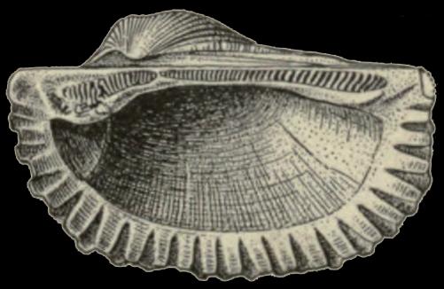 Original figure from Dall (1898, pl. 32, fig. 21). Original figure caption (p. 927):