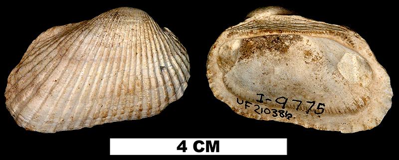 <i>Anadara campyla</i> from the Early Pleistocene Caloosahatchee Fm. of Glades County, Florida (UF 210386).