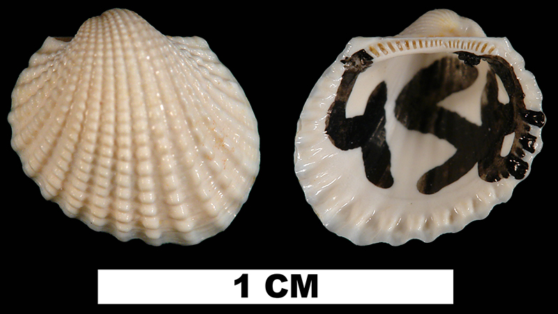 <i>Anadara cardioides</i> from the Early Miocene Chipola Fm. of Calhoun County, Florida (UF 104839).