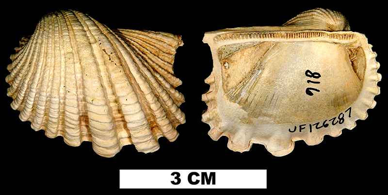 <i>Anadara crassicosta</i> from the Pleistocene Caloosahatchee/Bermont Fm. of Charlotte County, Florida (UF 126287).