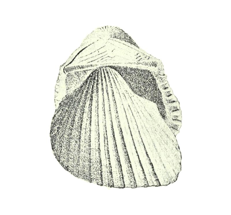 Specimen of <i>Anadara idonea</i> figured by Conrad (1832, pl. 1, fig. 5).