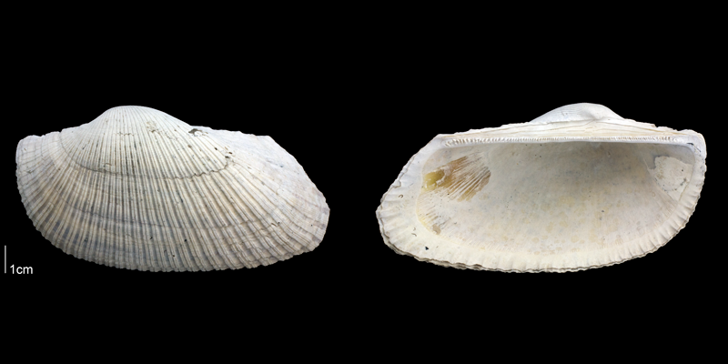 <i>Anadara lienosa</i> from the Late Pliocene Tamiami Fm. (Pinecrest Beds) of Sarasota County, Florida (PRI 70070).