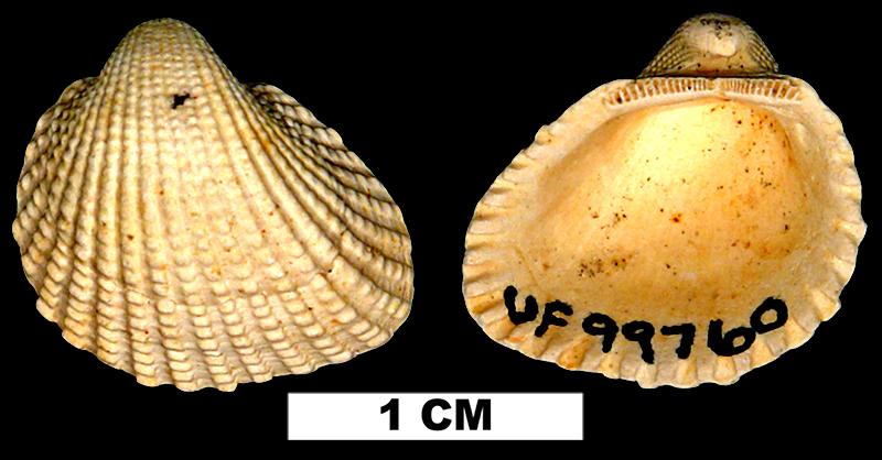 <i>Anadara megerata</i> from the Early Pleistocene Caloosahatchee Fm. of Hendry County, Florida (UF 99760).
