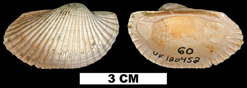 <i>Anadara propearesta</i> from the Late Pliocene Jackson Bluff Fm. of Leon County, Florida (UF 120452).