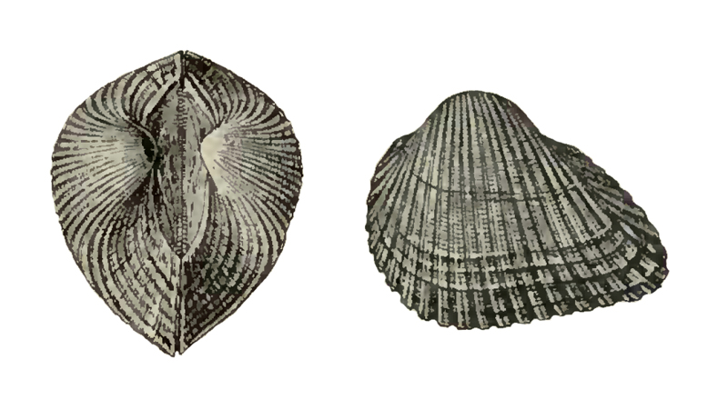 Specimen of <i>Anadara santarosana</i> figured by Dall (1898, pl. 31, fig. 2 and 10); 37 mm in length.