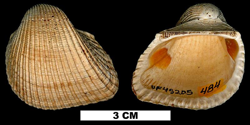 <i>Anadara santarosana</i> from the Early Miocene Chipola Fm. of Calhoun County, Florida (UF 45205).