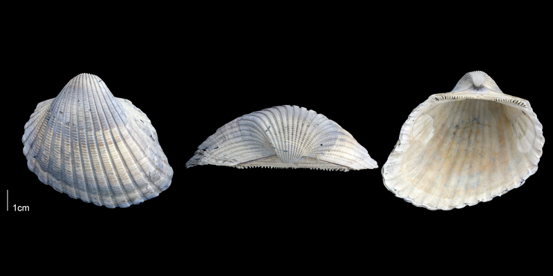 <i>Anadara scalarina</i> from the Late Pliocene Tamiami Fm. (Pinecrest Beds) of Sarasota County, Florida (PRI 69693).
