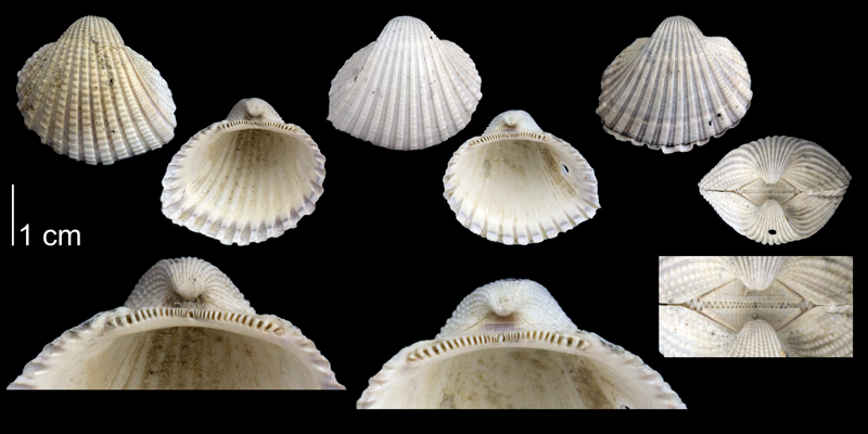 Specimens of <i>Anadara scalarina</i> (PRI 70061 [left], PRI 70089 [two right]) from the late Pliocene Tamiami Fm. of Sarasota County, Florida. Bottom row of images shows enlarged views of the hinge regions of each specimen.