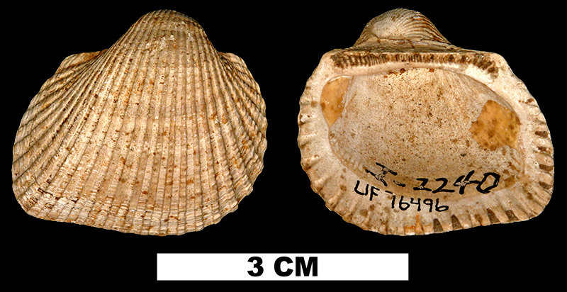 <i>Anadara waltonia</i> from the Middle Miocene Shoal River Fm. of Walton County, Florida (UF 76496).