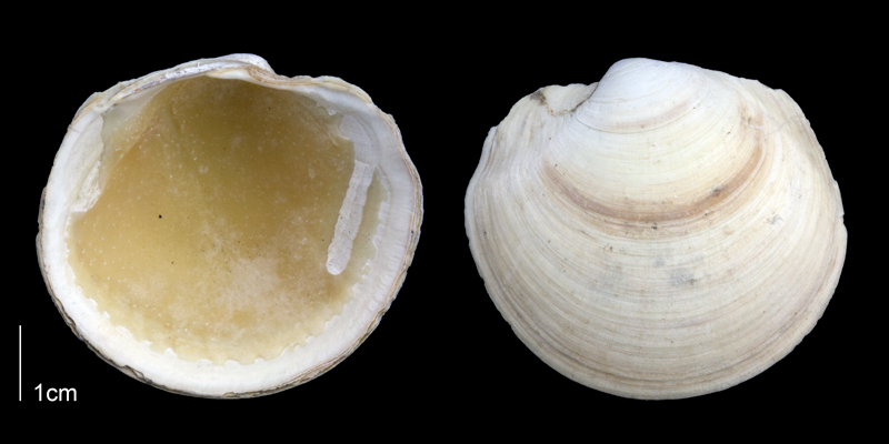 <i>Anodontia alba</i> from the Late Pliocene Tamiami Fm. (Pinecrest Beds) of Sarasota County, Florida (PRI 70123).