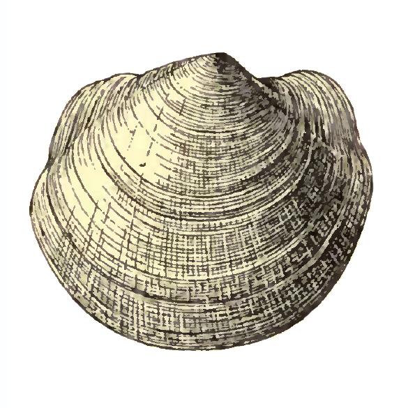 Specimen of <i>Anodontia santarosana</i> figured by Dall (1903, pl. 51, fig. 6); 39.0 mm in length.