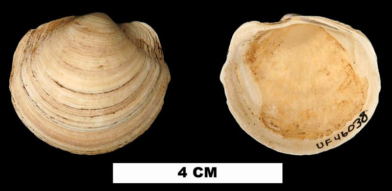 <i>Anodontia santarosana</i> from the Middle Miocene Shoal River Fm. of Walton County, Florida (UF 46038).