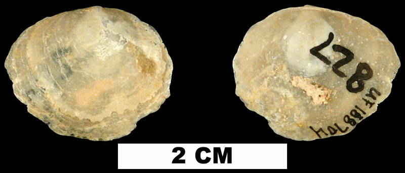<i>Anomia microgrammata</i> from the Early Miocene Chipola Fm. of Calhoun County, Florida (UF 188704).