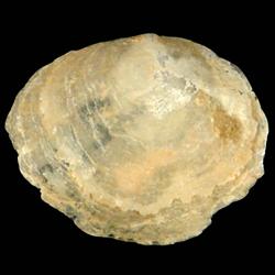Anomia microgrammata