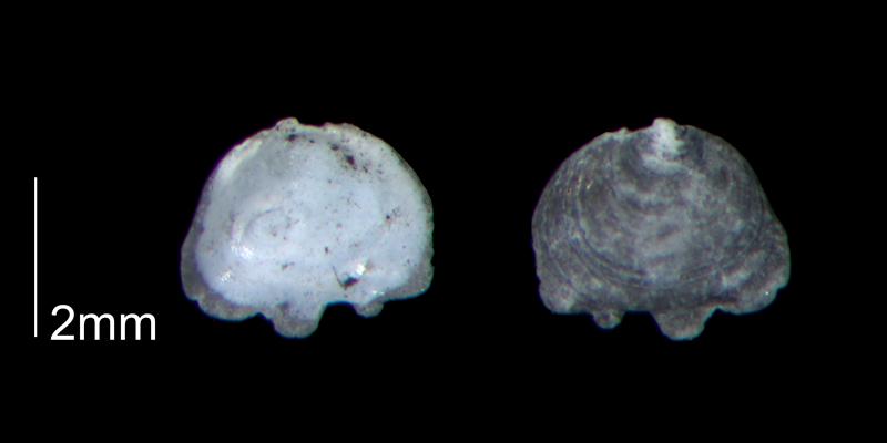<i>Anomia simplex</i> from the lower Pleistocene Waccamaw Fm. of Brunswick County, North Carolina (PRI 70449-2).