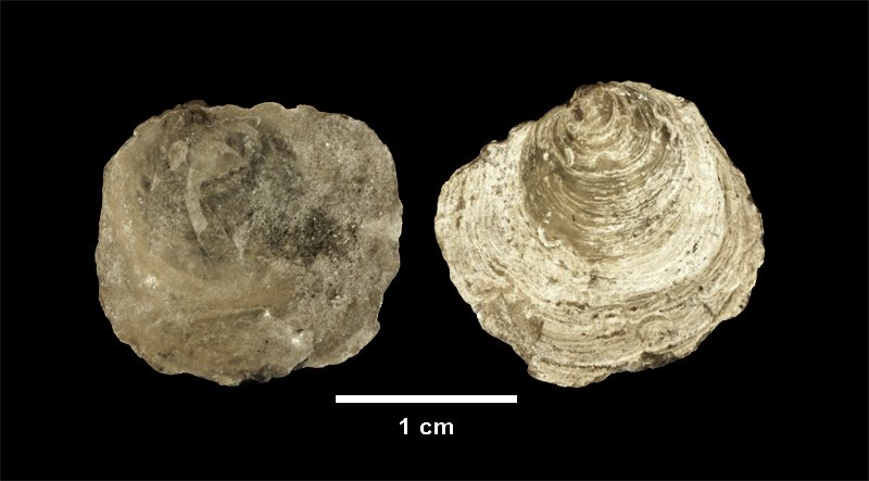 <i>Anomia simplex</i> from the upper Pliocene Yorktown Fm. of Isle of Wight County, Virginia (SDSM 139689).