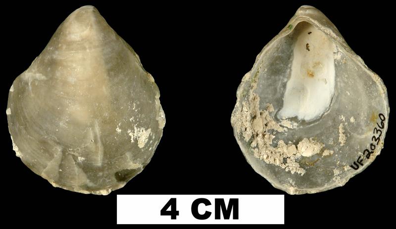 <i>Anomia simplex</i> from the lower Pleistocene Nashua Fm. of Putnam County, Florida (UF 203360).