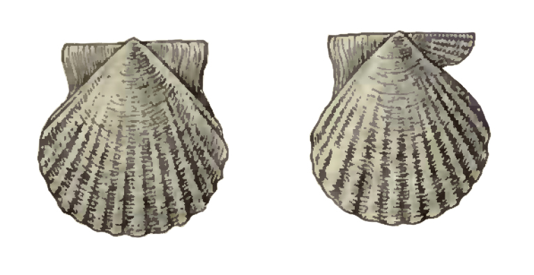 Specimen of <i>Antillipecten alumensis</i> figured by Dall (1898, pl. 34, fig. 10 and 11); 8.5 mm in length.