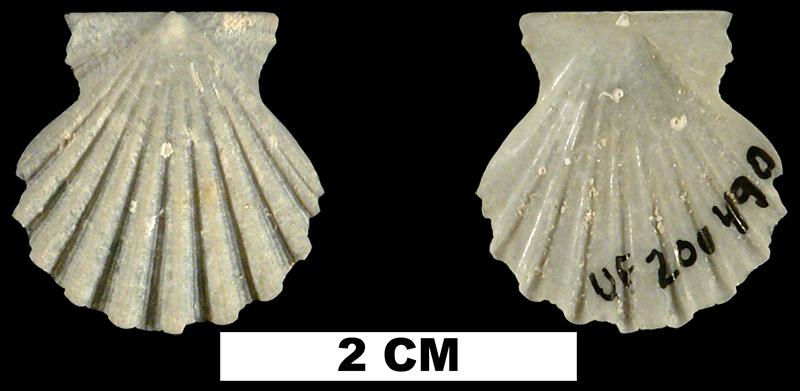 <i>Antillipecten antillarum</i> from the Middle Pleistocene Bermont Fm. of Palm Beach County, Florida (UF 200490).