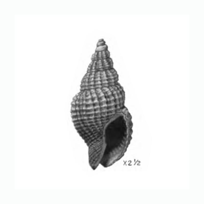 Specimen of <i>Antillophos dictyola</i> figured by Gardner (1944, pl. 50, fig. 17); 15 mm in length.