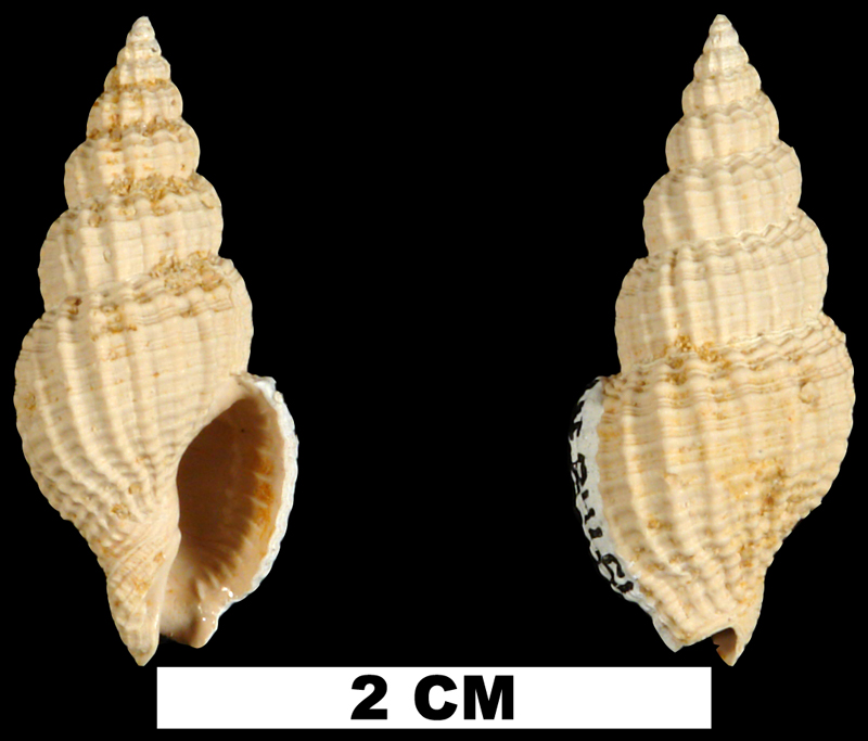 <i>Antillophos dictyola</i> from the Early Miocene Chipola Fm. of Calhoun County, Florida (UF 84651).