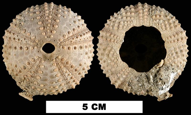 <i>Arbacia punctulata</i> from the Late Pleistocene Anastasia Fm. of St. Lucie County, Florida (UF 112190).