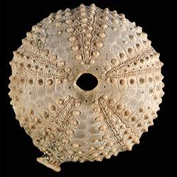 Arbaciidae