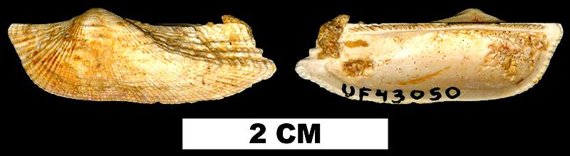 <i>Arca paratina</i> from the Early Miocene Chipola Fm. of Calhoun County, Florida (UF 43050).