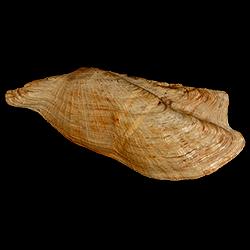 Arca wagneriana
