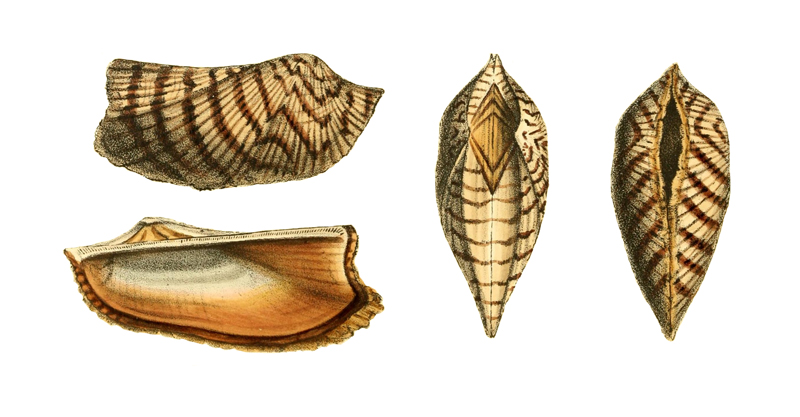 Specimen of <i>Arca zebra</i> figured by Swainson (1833, pl. 118).