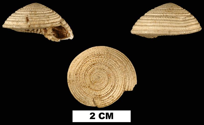 <i>Architectonica chipolana</i> from the Early Miocene Chipola Formation of Calhoun County, Florida (UF 76307).