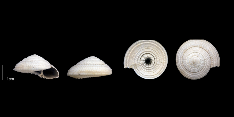 <i>Architectonica nobilis</i> from the late Pliocene Tamiami Fm. (Pinecrest Beds) of Sarasota County, Florida (PRI 70153).